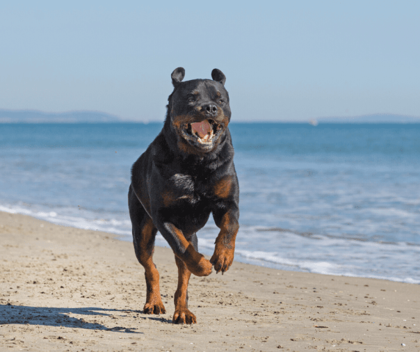 Rottweiler Pitbull Mix - Breed Facts And Info - Animal Corner