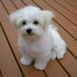 The Teacup Maltese Complete Breed Guide Animal Corner