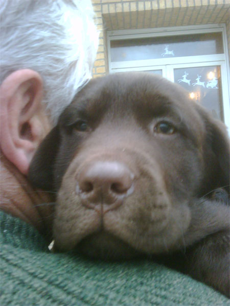 chocolate labrador moves to new home in Spain with Animalcouriers