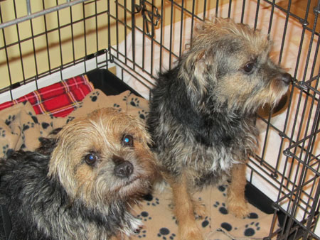Border terriers pets travel to Spain with Animalcouriers