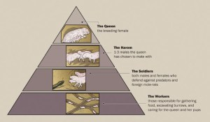 ADW: Heterocephalus glaber: INFORMATION