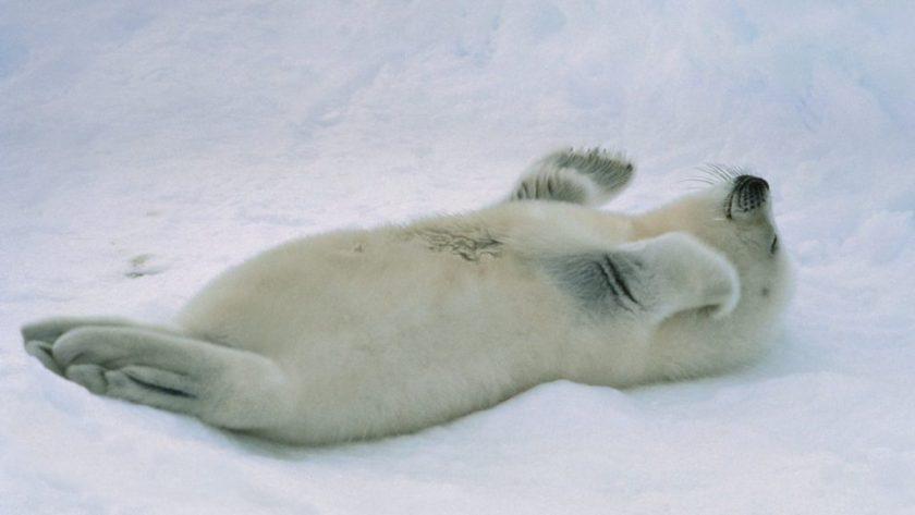harp-seals-2