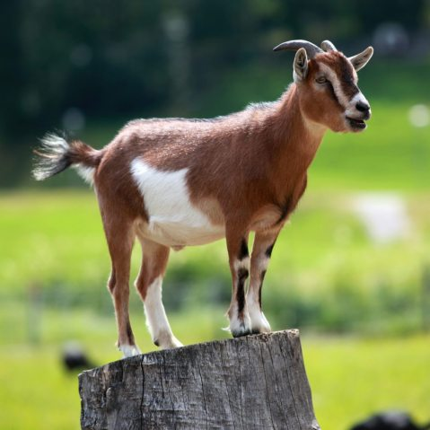 pygmy-goat-on-a-stump
