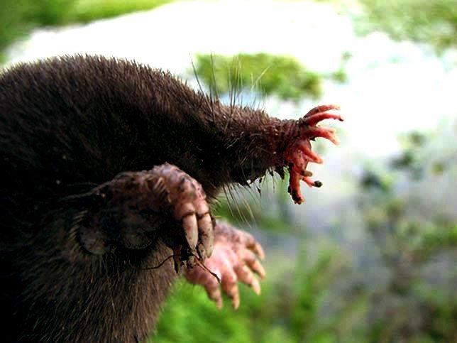 star-nosed-mole-2
