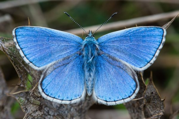 Adonis-Blue-Butterflies
