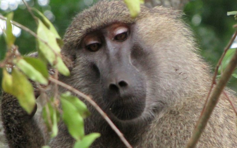 Yellow-Baboon