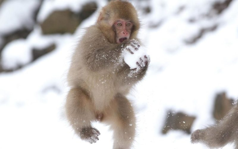baby-japanese-macaques-make-snowballs