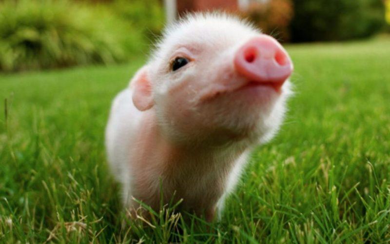 baby-pig