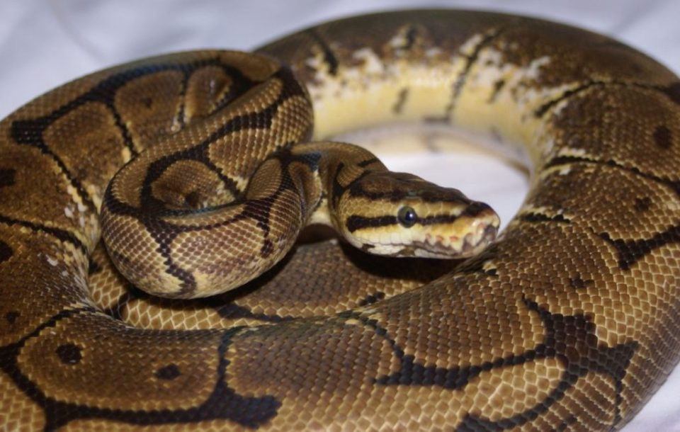 caring-for-a-ball-python