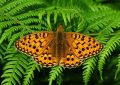 high-brown-fritillary
