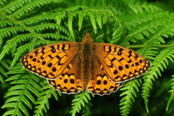 high-brown-fritillary
