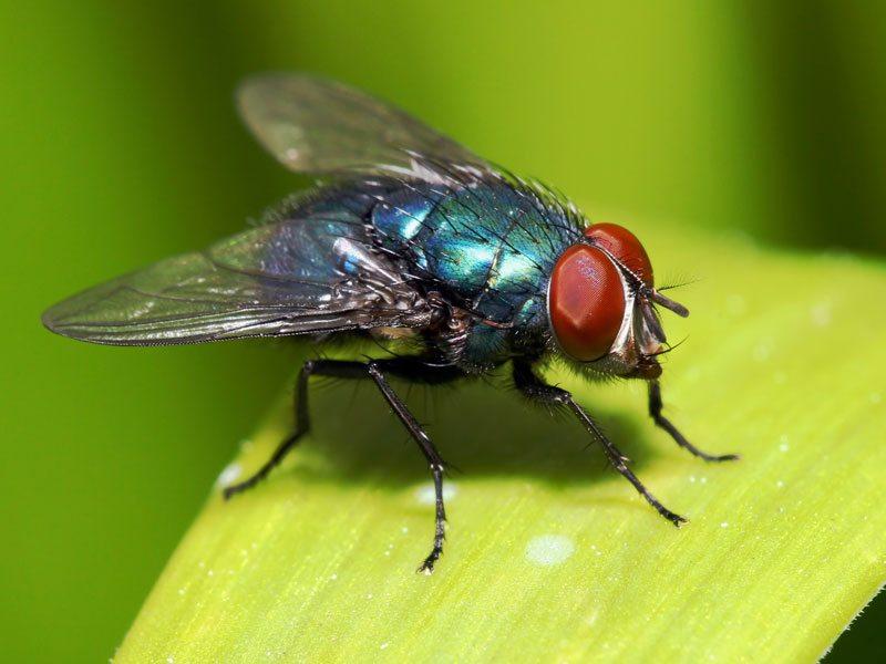 Bluebotte-fly