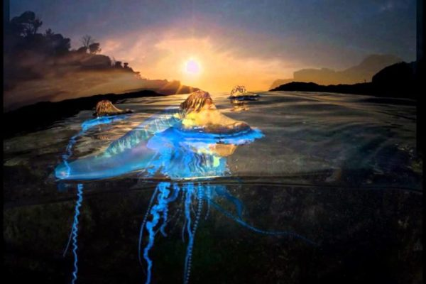 Portuguese-Man-Of-War