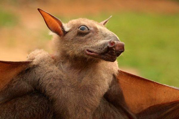 Hammer-headed-fruit-bats