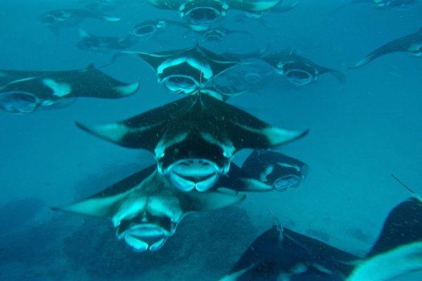 manta-rays-1