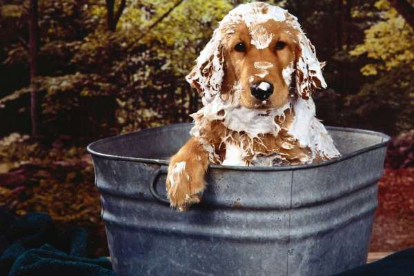 Retriever-bath-dog