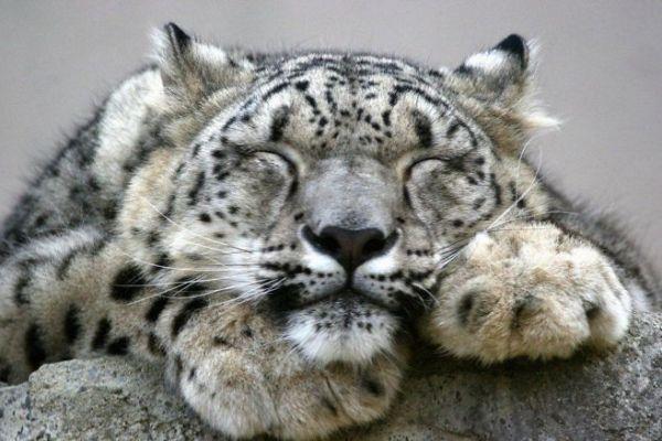 snow-leopards-5