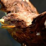 Águila real o águila caudal