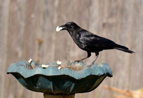 El cuervo común
