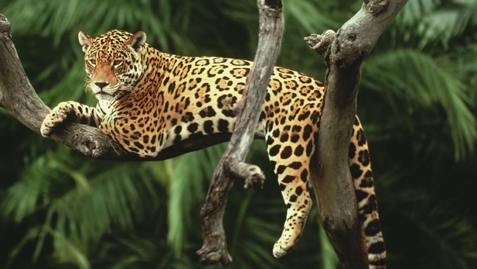 El Jaguar o Yaguar
