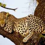 Leopardo sobre un árbol