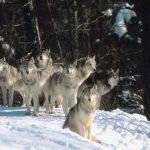 Lobo gris o lobo común en su hábitat