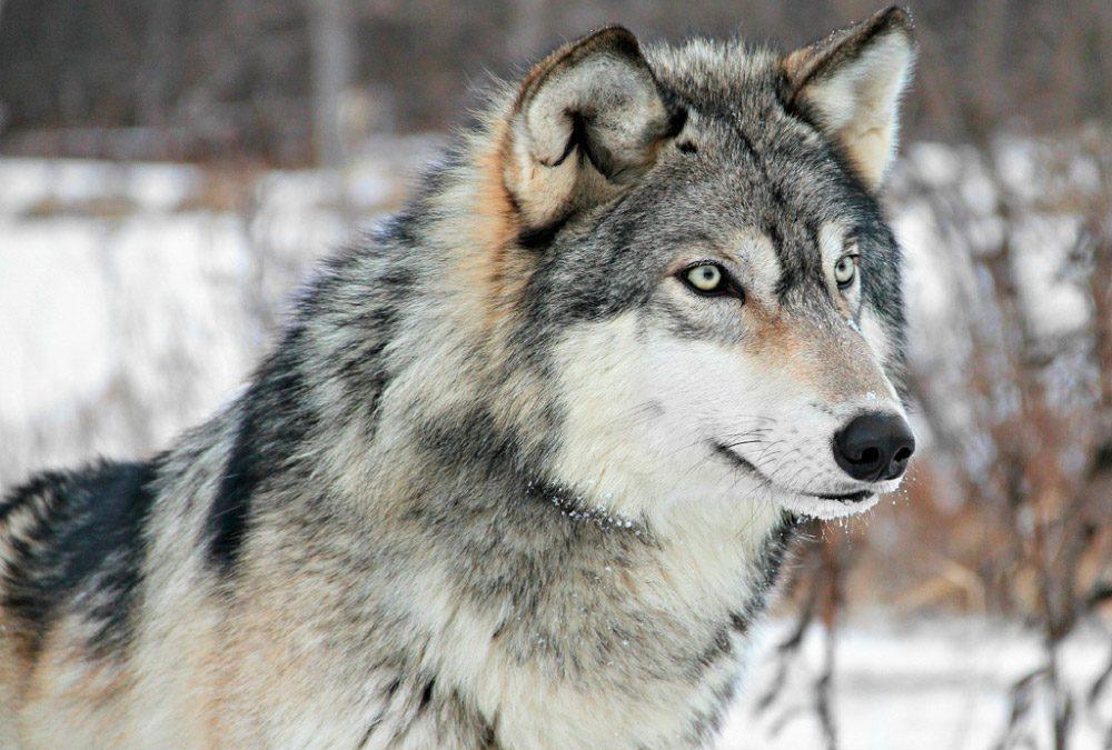 El Lobo gris