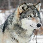 Lobo gris o lobo común