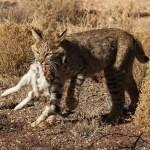 Lince rojo o gato montés de Norteamérica