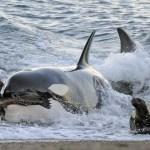 La orca o ballena asesina