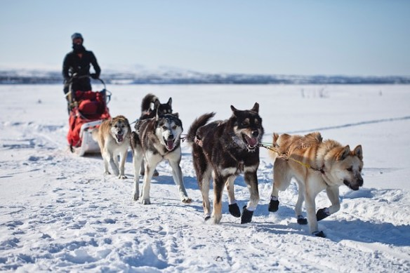 Malamutes de Alaska jalando de un trineo