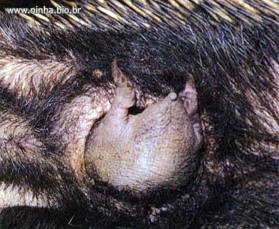Equidna bebé en el marsupio de su madre (bolsa donde se amamantan y crían)