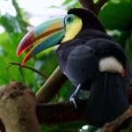 Pico colorido del Tucán