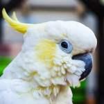 Cacatuas blancas de cresta amarilla