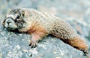 Anatomia de la marmota