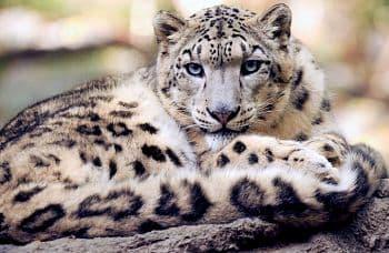 Los leopardos de las nieves son animales en peligro de extincion a nivel mundial