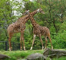 reproduccion de las jirafas