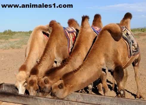 alimentacion del camello