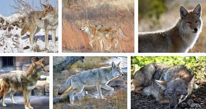 informacion del coyote