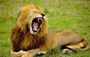 el leon africano donde vive