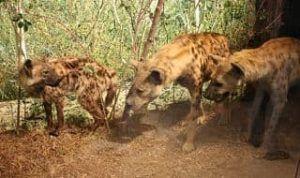 donde viven las hienas