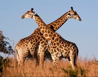 donde viven las jirafas