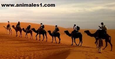 donde vive el camello