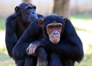 habitat del chimpance