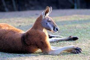 reproduccion del canguro rojo australiano