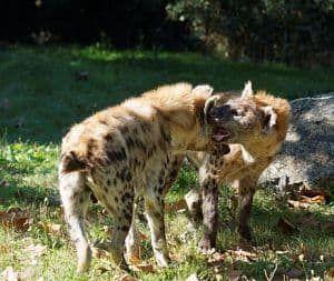 diferentes especies de hienas
