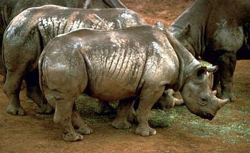 rinoceronte negro habitat