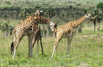 informacion sobre las jirafas