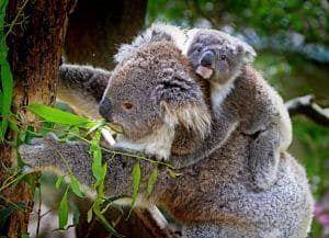 koala animal informacion