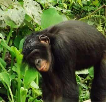 saludo de los monos bonobo